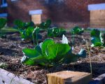 conscious CABBAGES GROWING IN A DETROITERS RAISED BED GARDEN