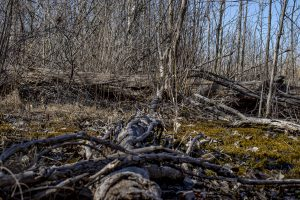THE WET-MESIC FOREST NEAR BLUE HERON LAGOON. PHOTO JOHN BOZICK