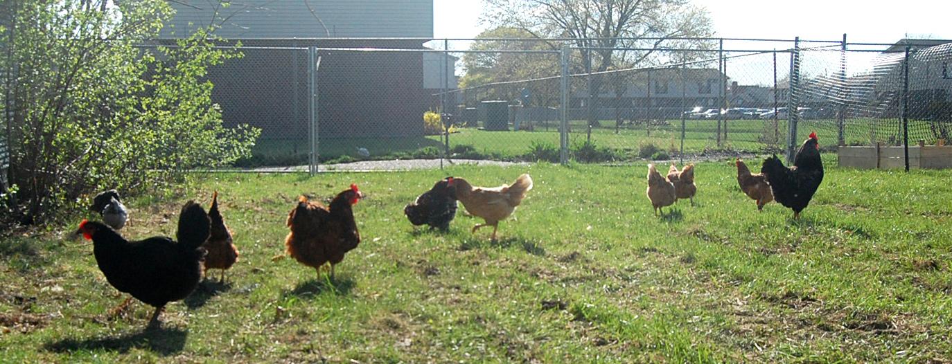 Chickens roam in a large, fenced in parcel near Detroit's Southwest Neighborhood.