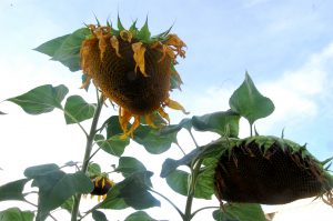 SUNFLOWERS JUST BEFORE HARVEST AT AN URBAN GARDEN IN MIDWEST.